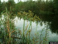 redroot flatsedge (Cyperus erythrorhizos)