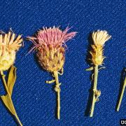 Russian knapweed