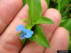 spreading dayflower (Commelina diffusa)