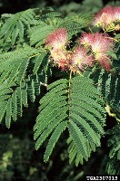 Figure 1.  Mimosa flowers are very showy and fragrant. The leaves are delicate-looking and bipinnately compound.  Photo by Ted Bodner, Southern Weed Science Society.