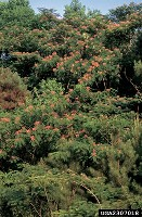 Figure 2.  Mimosa can quickly invade forest edges and old fields. The showy flowers make infestation very conspicuous.  Photo by James H. Miller, USDA Forest Service.
